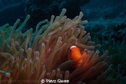 Clownfish is always a good subject for underwater photogr... by Pierz Gwee 